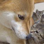 ワンちゃんにくっついて甘える子猫ちゃんにほっこり
