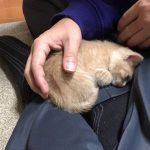 飼い主さん膝の上で寝たい子猫♡