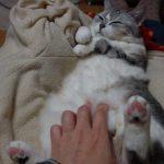 膝の上でおなかを出して気持ちよく寝ているネコちゃん