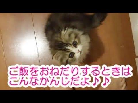 「ねぇー、はやくごはんー」おねだりするネコがかわいい♡