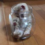これはミステリー!?なぜか小さな瓶の中にいる子ネコ