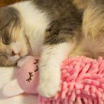 悶絶♡ウサギの人形を抱いて眠るネコちゃん