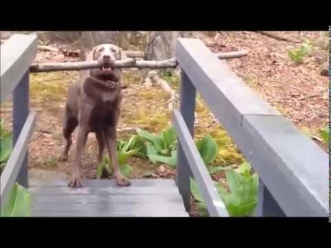 おもしろい!はたしてワンちゃんは長い木の棒を咥えて無事橋を渡れるのか?