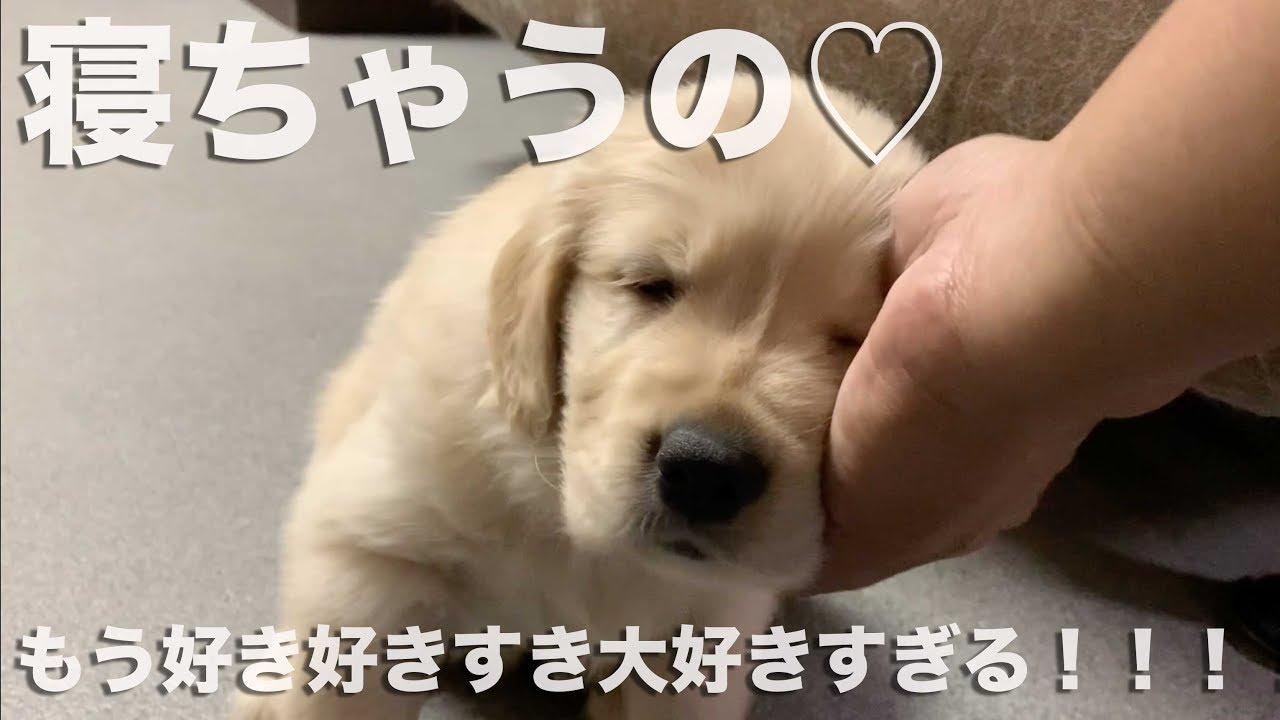 飼い主さんになでられるのが気持ち良くてそのまま寝落ちしちゃう子犬♡