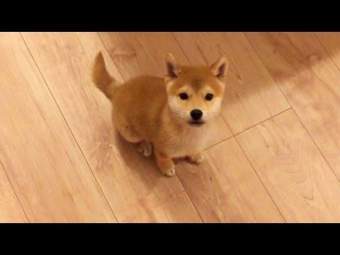 褒めてほしくて飼い主さんに覚えたお座りを積極的にアピールする子犬が可愛すぎる♡