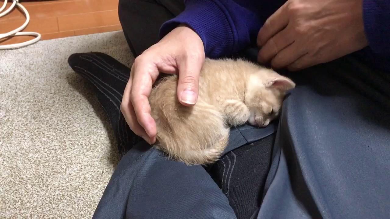 膝の上から離れたくない!子猫ちゃんの猛抗議!