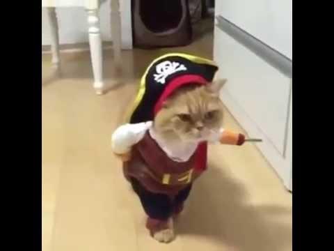海賊コスチュームのかわいい猫ちゃん