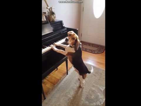 ビーグル犬のかわいいピアノ弾き語り動画♪